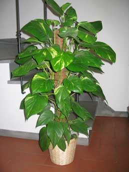 Plantas toxicas ornamentales para nuestras mascotas for Plantas decorativas de interior